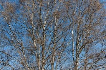 Abedules pubescentes. Betula pubescens, alba.