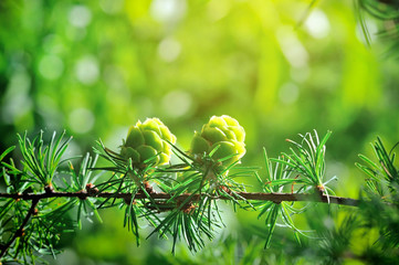 Young cones of larch tree in sunlight