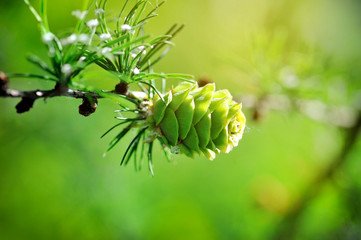 Young cone of larch tree in sunlight