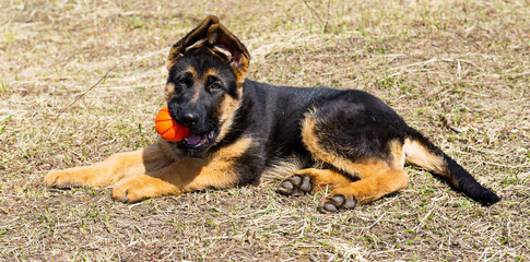 German shepherd dog playing with ball