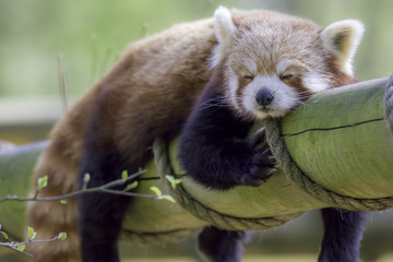 Fototapete - Red Panda Sleeping. Cute animal taking an afternoon nap.
