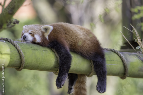 Fototapete Sleeping Red Panda. Funny cute animal image.