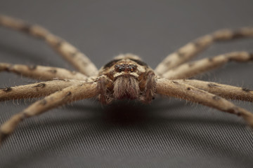Close up of cane spider