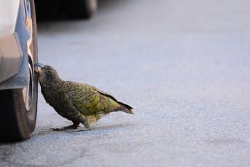 Kea parrot damaging a car