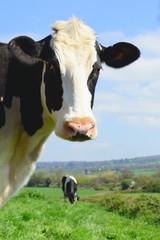 Wall Mural - British Friesian cow against blue sky grazing on a farmland in East Devon, England