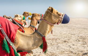 Kamele in der Wüste von Katar bei Doha