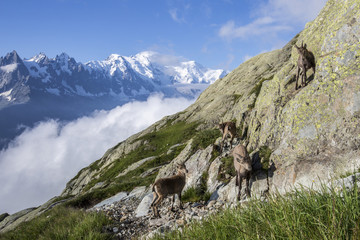 Ibex on the rocks with snowy peaks of Mount Blanc in the background  Chamonix Haute Savoie France Europe