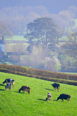 Wall Mural - Herd of British Friesian cows grazing on a farmland in East Devon, England
