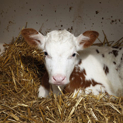 red and white calf lies in shelter on straw