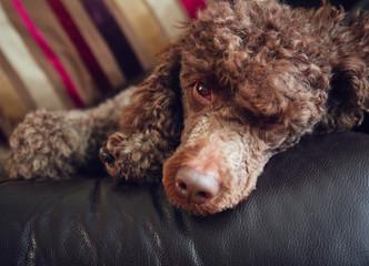 A chocolate miniature poodle sleeping on a sofa.
