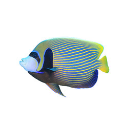 Emperor Angelfish tropical reef fish isolated on white background