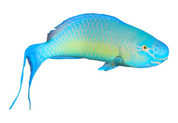 Parrotfish fish isolated on white background