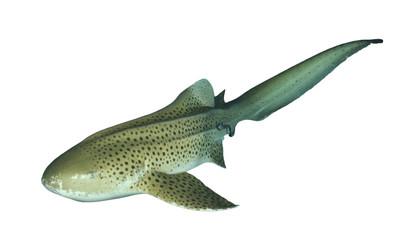 Zebra Shark (Leopard Shark) isolated on white background