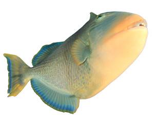 Yellowmargin Triggerfish fish isolated on white background