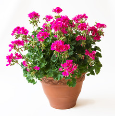 Pinkfarbige Riesen-Geranie - Pelargonium Zonale