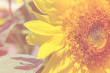 flower sunflower bright