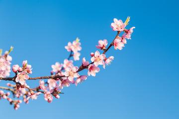 Japanische Kirschblütenzweige im Frühjahr mit blauem Himmel