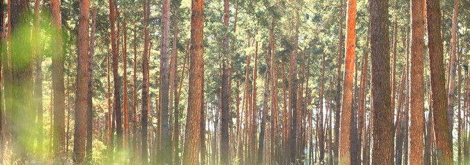 Beautiful panorama of a pine forest in summer