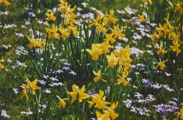yellow daffodil_a0026