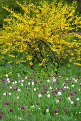 Forsytia Strauch und Schachbrettblumen im Frühling Park