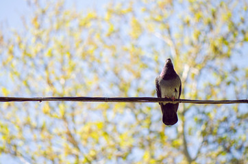 Grey Urban Pigeon On Electric Cable With Blue Sky And Tree Branches