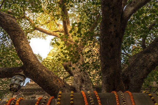 The Bodhi tree with stupa on background, which the Buddha became enlightened located at BodhGaya, India