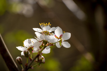 Flowering cherry tree - spring motive with white flowers