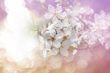 Flowering spring cherry tree with dreamy atmosphere