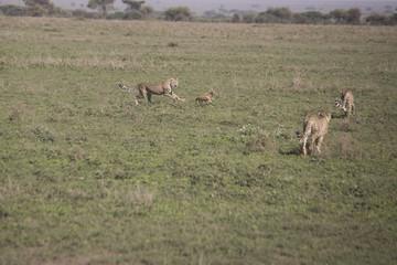 Cheetah training hunt, Serengeti, Tanzania