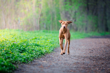 Hungarian hound pointer dog running on the forrest path