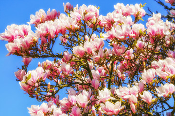 Magnolien, Magnolia