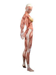Muscle female anatomy looking over shoulder 3D Illustration