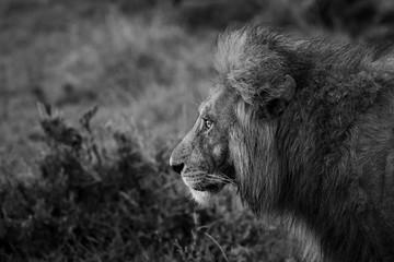 profilo leone