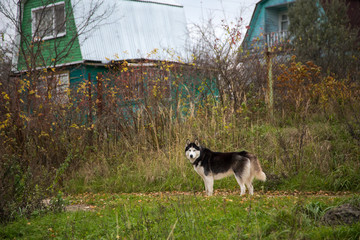 Siberian Husky Dog on the street in the village