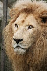 Lion head isolated