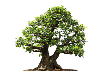 Ficus Microcarpa tree