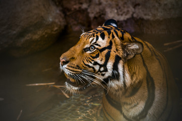 Tiger in water looking up