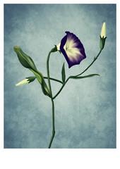 Blue Flower - Digital Painting