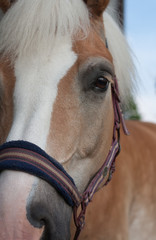 Close up of horse head , stallion horse breed haflinger
