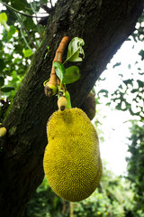 jackfruit with leaf still hanging on the tree photo taken in Jakarta Indonesia