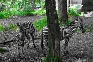 two beautiful Zebra with black and white striped standing near a tree photo taken in Ragunan zoo Jakarta Indonesia