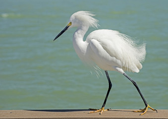 Snowy Egret on the beach with feathers ruffled.