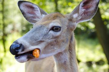 Female deer eating a carrot