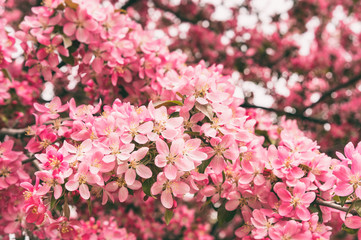 Crabapple tree in bloom with pink flowers