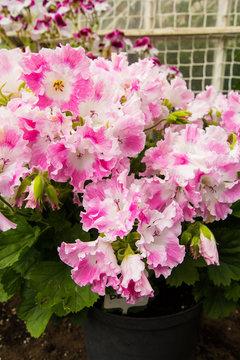 Pink and white geranium flowers, close up
