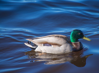 Birds and animals in wildlife. Amazing mallard ducks animal on water under sunlight view.