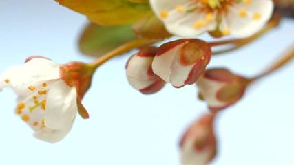 Fotoväggar - Beautiful spring cherry tree flowers blossoming timelapse. Blooming cherry flowers closeup. 4K UHD video 3840X2160