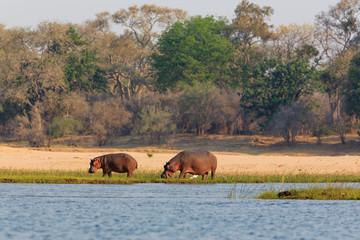 Hippo in NP Lower Zambezi - Zambia