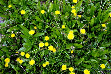 Background of yellow dandelions on green grass