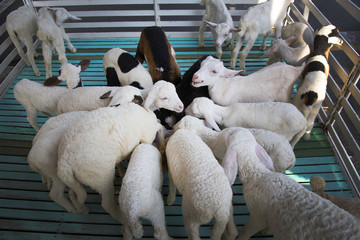 sheep crowded in the cage